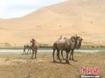 图为金昌市巴丹吉林沙漠。 南如卓玛 摄 - 甘肃新闻