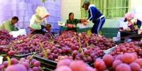 资料图。图为敦煌市郭家堡镇七号桥村农民正在将葡萄装箱。 张晓亮 摄 - 甘肃新闻