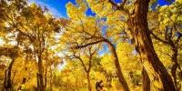 甘肃敦煌大漠胡杨林盛开 引客徜徉丝路古道 - 中国甘肃网