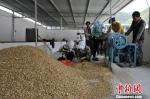 图为甘肃陇南宕昌县中药材合作社人员再加工药材片。资料图 刘辉 摄 - 甘肃新闻