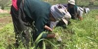 """甘肃甘南州夏河县唐尕昂乡让吾道村,种植当归这个""""新门路""""给村民们带来了脱贫致富的希望。图为村民们正在为当归除草。 艾庆龙 摄 - 甘肃新闻"""