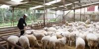 甘肃临夏回族自治州广河县扶贫羊产业。(资料图) 杨艳敏 摄 - 甘肃新闻