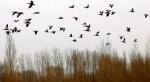 群鸟遨游 黑河河畔春意闹 - 中国甘肃网