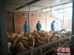 图为兰州海关工作人员对种用奶山羊逐头采血并进行实验室检测和检疫诊断。 林茜茜 摄 - 甘肃新闻