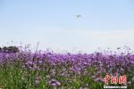 """兰州新区荒滩变临港花海:""""机窗风景""""让眼睛先""""旅行"""" - 甘肃新闻"""