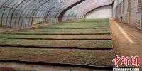 """""""中国薯都""""甘肃定西马铃薯年种植面积稳定在300万亩左右,产量超过500万吨。(资料图) 钟欣 摄 - 甘肃新闻"""
