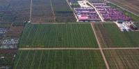 航拍平凉市境内一苹果种植基地。(资料图) 钟欣 摄 - 甘肃新闻