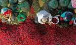 甘肃高台千亩辣椒获丰收 堆积如山红似火 - 中国甘肃网