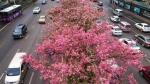 广西柳州:美丽异木棉花竞相盛开 - 中国甘肃网