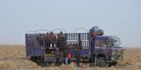 西湖保护区放归攻击性野骆驼 配GPS项圈适时监测 - 甘肃新闻