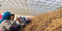 杨崖集镇中药材加工扶贫车间内,村民们在干燥房修剪着黄芪。 艾庆龙 摄 - 甘肃新闻