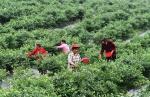 蓝莓产业助农增收 - 中国甘肃网