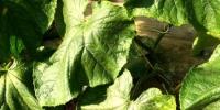 图为使用中草药制剂防治黄瓜白粉病的防治效果图。甘肃省农业科学院供图 - 甘肃新闻