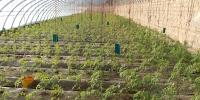 瓜州腰站子镇:温室大棚开出致富花 - 中国甘肃网